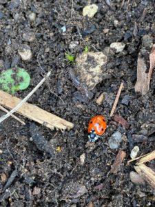 Ladybug in dirt