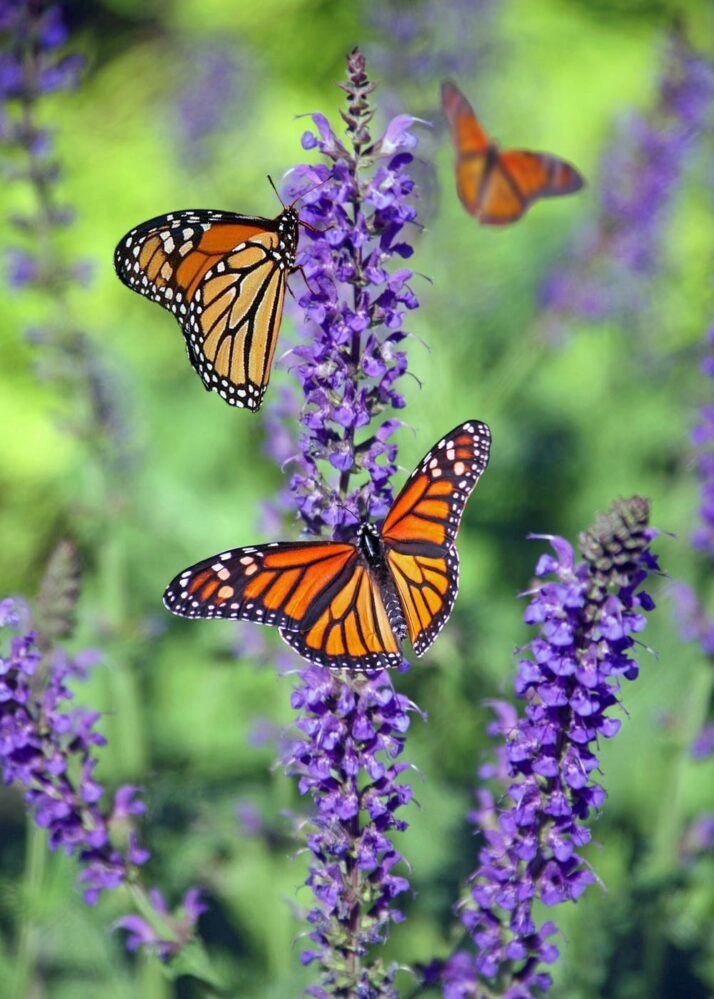 Butterflies on purple flowers