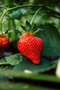 strawberry on the vine